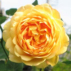 Rosal 'Golden Celebration'